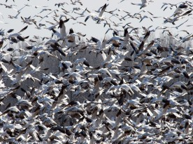 Pajaros desorganizados 9579-Snowgeese_flock